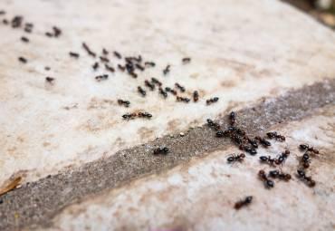 Alles was Sie über Ameisen im Haus wissen müssen
